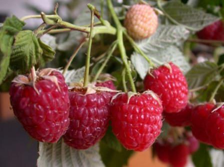 Сорт малины Геракл отличается действительно крупной ягодой и отличными вкусовыми качествами
