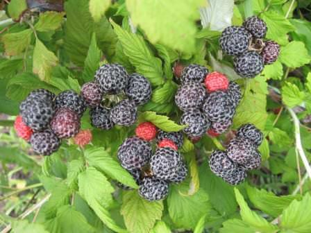 Обратите внимание на сорта черной малины — оригинальные ягоды с неповторимым вкусом