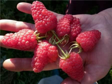 Сорта малины, которые более всего подходят для выращивания в Подмосковье, на Урале и на Украине
