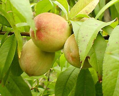 На даче нам нужен только качественный персик, а потому выбираем сорт для посадки внимательно