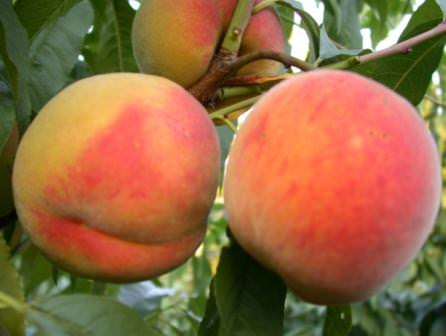 Выбираем самый лучший и самый сладкий сорт персика для посадки на даче