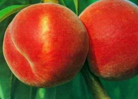 Быть может, вам наиболее подходят новые сорта персика для выращивания на дачном участке
