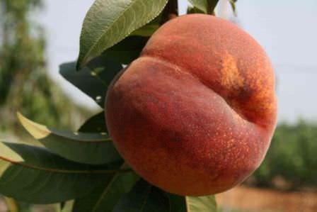 Сорт персика Коллинз — классический сорт для дачного выращивания