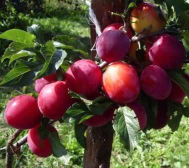 Июльская слива — ранний урожай, который порадует качеством