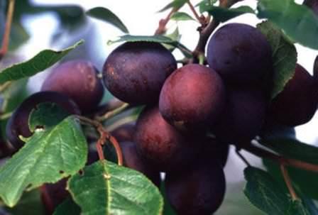 Слива Заречная — ранний сорт сливы с отличными урожайными показателями