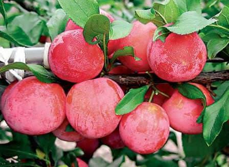 Сорт сливы Скороплодная — красивые плоды, неповторимые вкусовые качества