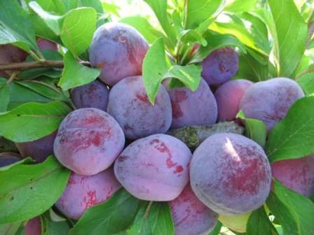 Слива Сувенир Востока — гордость любого дачника, выбравшего для посадки данный сорт