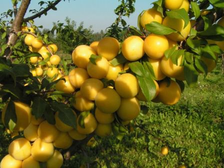 Светлана — один из лучших сортов сладкой и сочной сливы