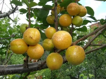 Выбираем сочные, ароматные, сладкие и крупные сорта абрикос для посадки на даче