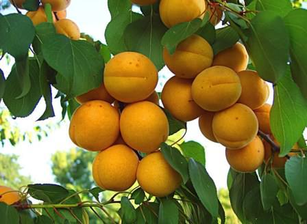 Специалисты рекомендуют ранние, среднеспелые и поздние сорта абрикос для дачи