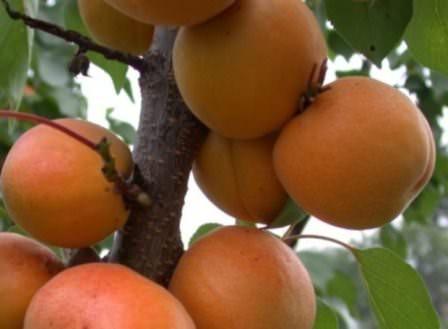Сорт абрикос Алеша — популярный и издавна известный многим дачникам