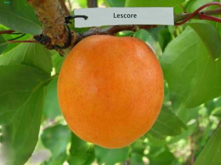 Лескоре — малоизвестный сорт абрикос, который вскоре обещает стать очень популярным