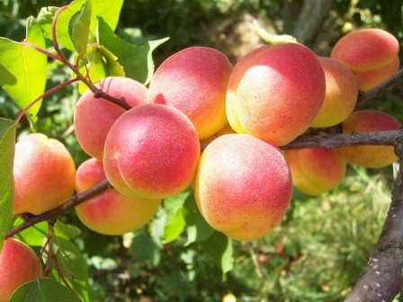 Краснощекий — идеальный сорт абрикоса, который отлично подходит для выращивания на дачном участке