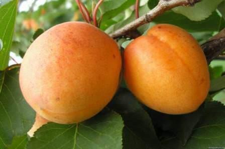 Полесский крупноплодный — урожайный сорт для любителей крупного и сладкого абрикоса