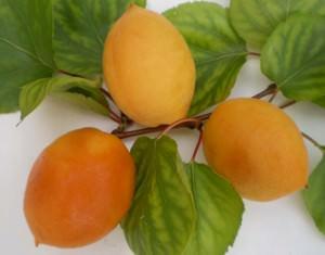 Сорт абрикоса Ялтинец — урожайный и крупноплодный сорт, который отлично противостоит многим заболеваниям сада