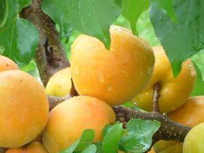 Ананасный абрикос — для любителей экзотических и очень ароматных плодов