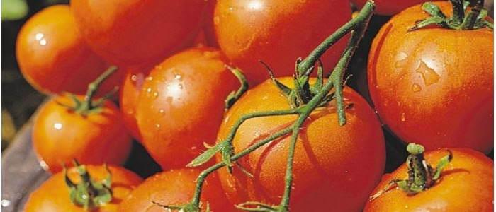 """""""Самара"""" – томаты с неограниченным ростом, группа кистевых, плод крупного размера, сочный и сладкий"""