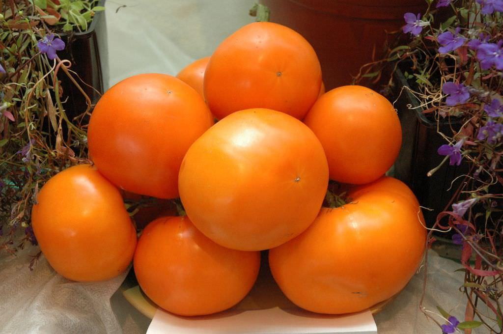 Среднеранний и среднерослый, с повышенным содержанием каротина сорт помидоров, который очень по душе владельцам теплиц