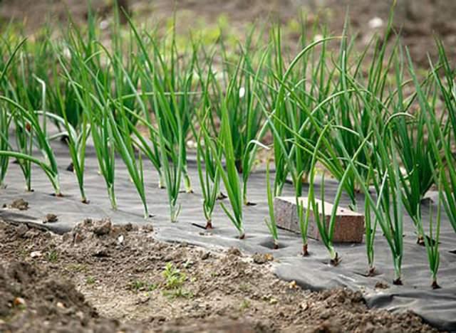 Спанбонд используют как фермеры на значительных площадях, так и садоводы или дачники