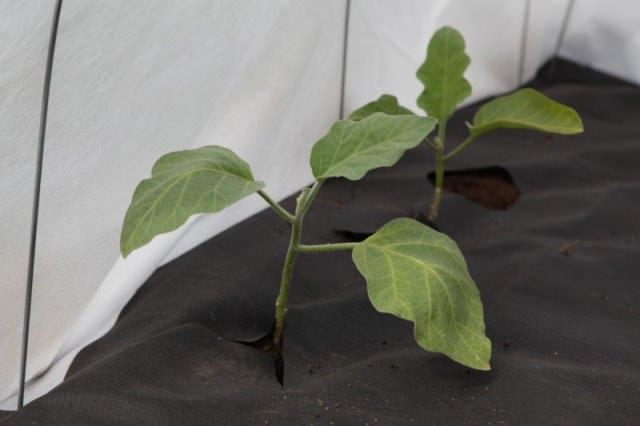 Внезапный весенний заморозок на почве может сильно навредить растениям. Поэтому для их защиты издавна принято использовать укрывной материал для грядок