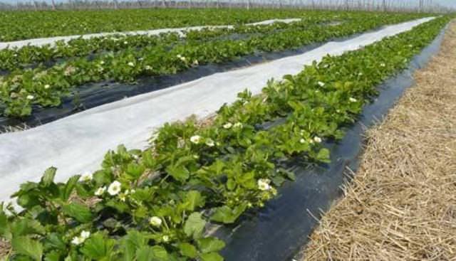 Черный укрывной спанбонд-материал предотвращает рост сорняков на грядках, а также защищает газоны от размывания дождями или высыхания в летний период