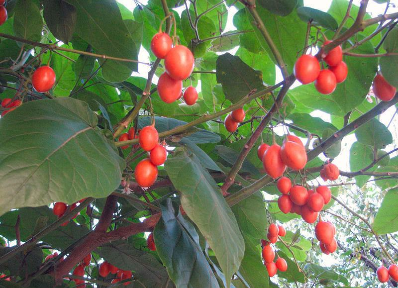 Плоды помидорного дерева полезны людям с повышенным кровяным давлением