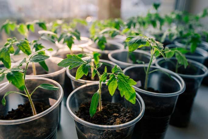 Продолжительность выращивания рассады из семян томатов «Кумато» составляет полтора месяца