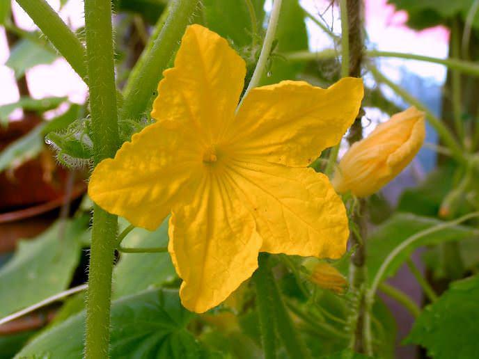 Огурец «Барабулька f1» – скороспелый, среднерослый гибрид с женским типом цветения