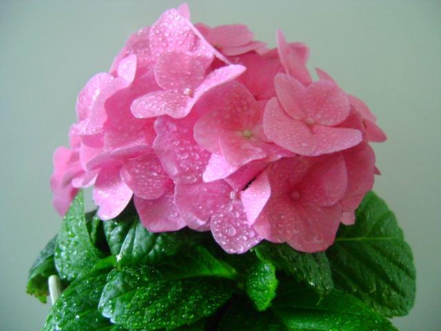 Правильный уход за гортензией состоит и в регулярных обильных поливах, особенно во время цветения