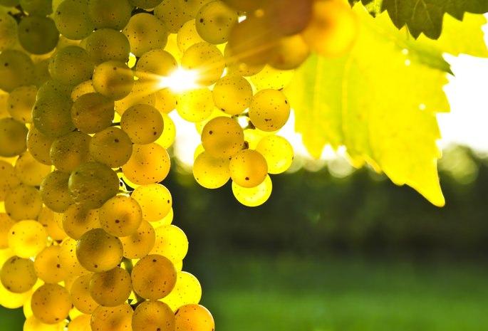 Виноград сорта «Мускат Придонский» среднепозднего срока созревания