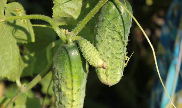 Огурец «Теща F1» не относится к неприхотливым огородным растениям