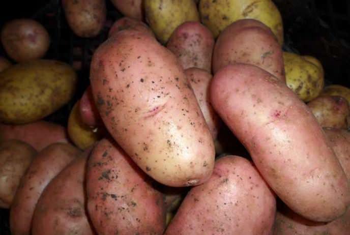 Сорт «Рябинушка» характеризуется устойчивостью к возбудителю рака картофеля и золотистой картофельной цистообразующей нематоде