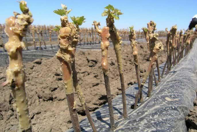 Чаще всего практикуется именно весенняя посадка черенков винограда