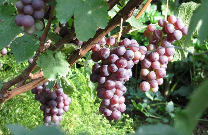 Созревание винограда «Русский ранний» дружное и раннее, наступает через неполных четыре месяца