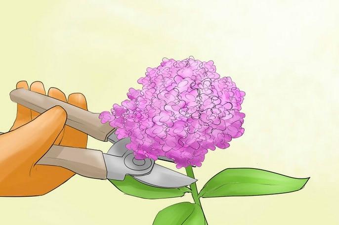 Для ежегодного цветения важно правильно формировать кустик гортензии