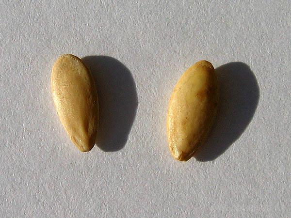 Правильная подготовка семенного материала сорта «Доломит f1» к посеву способствует увеличению общего урожая