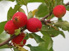 Декоративные яблони с маленькими яблочками в народе называют райскими
