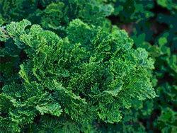кипарисовик — декоративное хвойное растение для сада