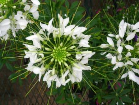 За счет большого роста клеома может быть использована, как фон цветника и помещена на задний его план, или быть применена в качестве живой изгороди среди насаждений более низкорослых растений