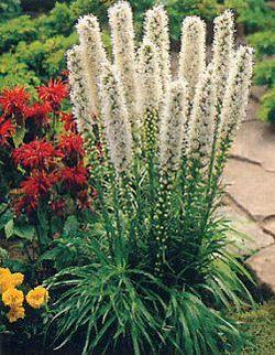 Огненный цветок — лиатрис, в вашем саду
