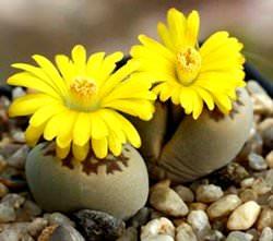 «Живые камни» весьма спокойно переносят жару, а в зимнее время обычно требуют температуру около десяти – пятнадцати градусов
