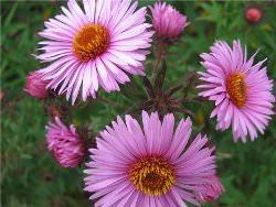Астра относится к роду травянистых растений и принадлежит к семейству сложноцветных