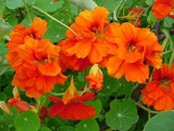 Настурция очень популярна у цветоводов-любителей