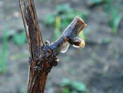 Подвязка и обрезка винограда весной: советы для начинающих