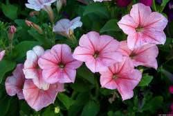 Многие ценные сортовые растения выращивают рассадным методом