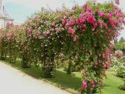 Осенняя пересадка плетистых роз