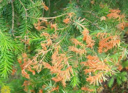 Ржавчина хвойных растений