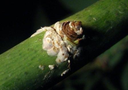 Борьба с запятовидной щитовкой на растениях