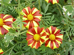 инсектицидные растения для сада и дачи