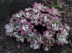 Любой из видов очитков (седумов) достаточно неприхотлив к почве и может расти даже на каменной основе